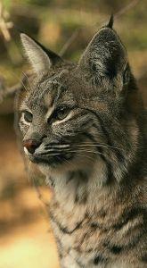 330px-bobcat_lynx_rufus