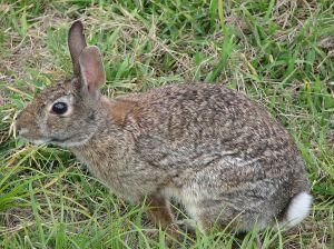 1024px-Wild_rabbit_us