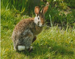 767px-Eastern_cottonail_rabbit_close_up_sylvilagus_floridanus