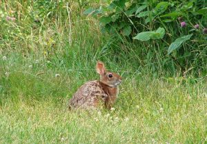 800px-New_England_cottontail_rabbit_animal_sylvilagus_transitionalis