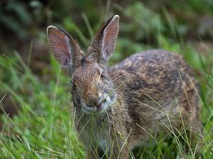 800px-Rabbit_in_louisiana