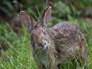 800px-Rabbit_in_louisiana