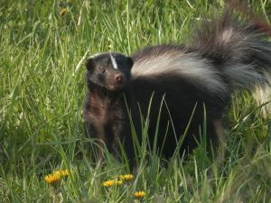 striped_skunk_mephitis_mephitis_01