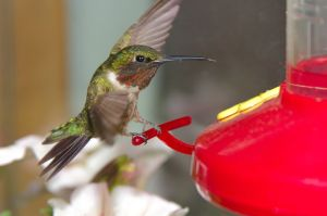 1024px-Ruby-throated_hummingbird_on_feeder_02