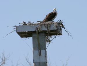 1280px-Osprey_nest_-_Hilton_Head