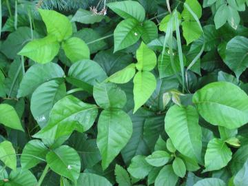 Toxicodendron_radicans