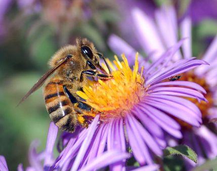 608px-European_honey_bee_extracts_nectar
