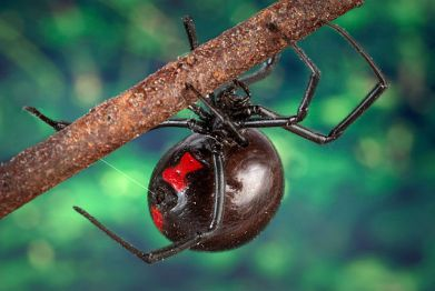 Black_widow_spider_9854_lores