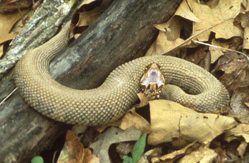 Cottonmouth_Snake,_Gaping