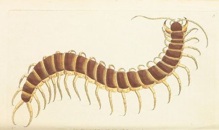 The_Naturalist's_Miscellany_Vol.1_Centipede