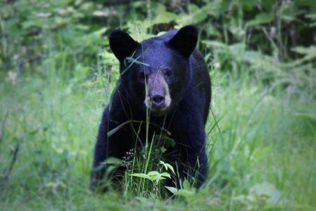 1024px-American_black_bear_ursus_americanus