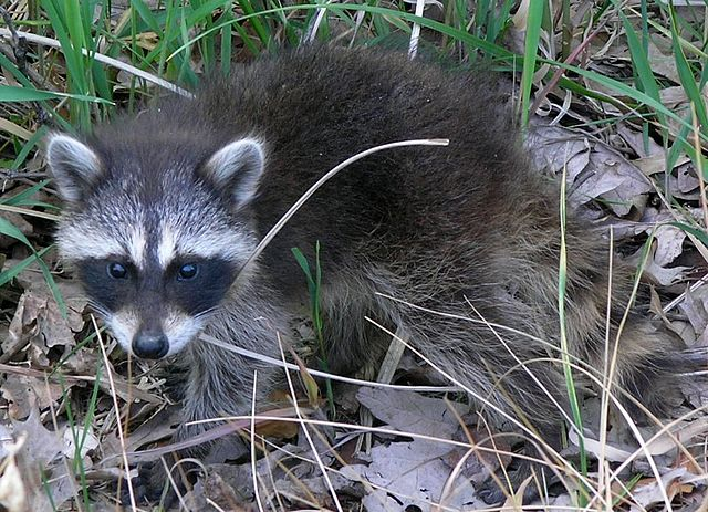 640px-Common_Raccoon_(Procyon_lotor)_in_Northwest_Indiana