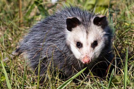 Opossum_(16701021016)
