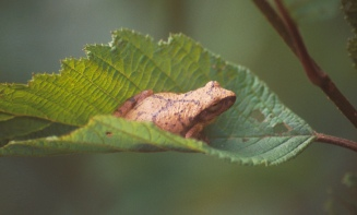USFS Spring Peeper on Alder Leaf