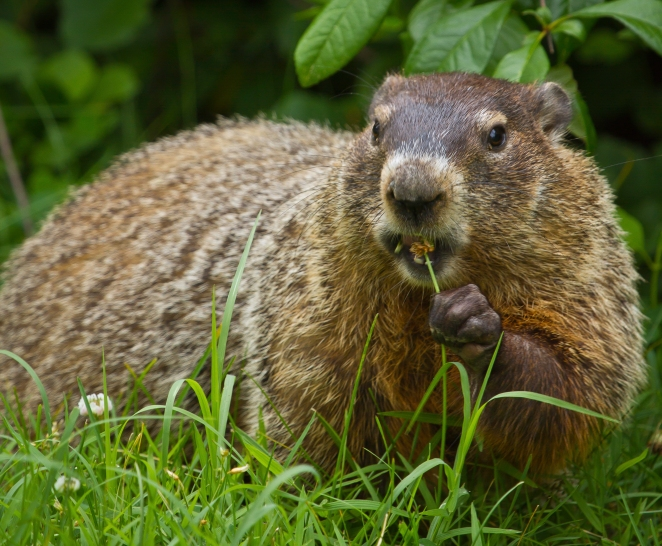 Groundhog_(9600010052)