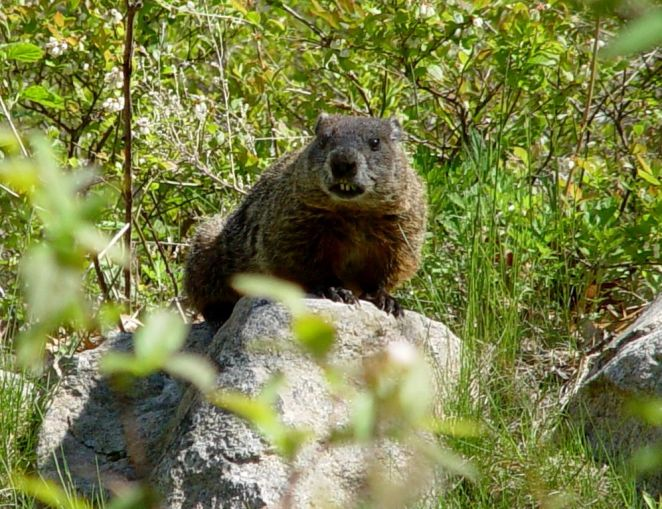 Photo_of_the_Week_-_Woodchuck_(RI)_(7929621628)