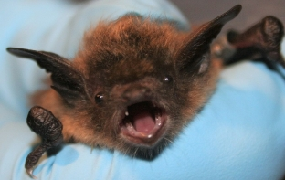 1024px-Little_brown_bat_face_closeup